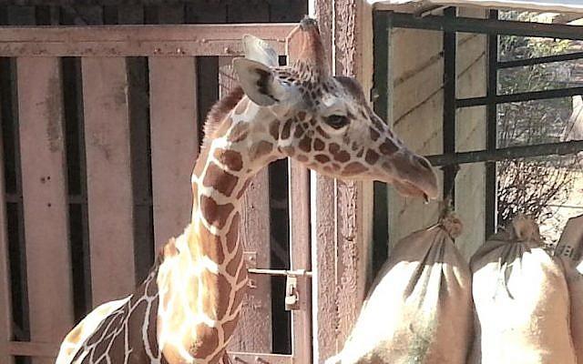 Jengo the giraffe on February 5, 2015. (photo credit: Courtesy)