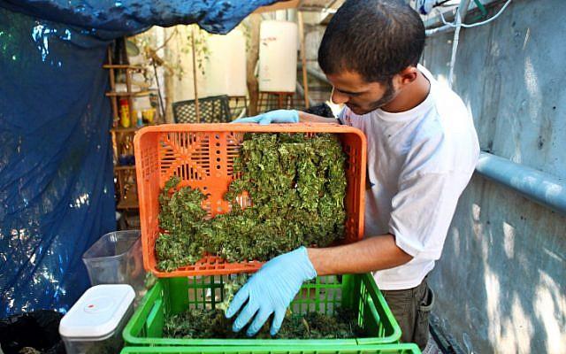 Medicinal marijuana in the pre-cookie stage (photo credit: Abir Sultan/ Flash 90)