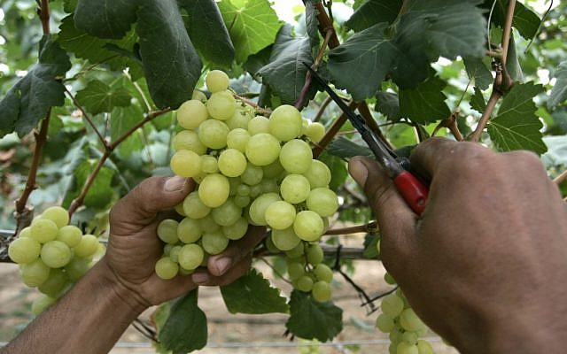 Illustrative: Harvesting grapes (photo credit: Rahim Katib/Flash 90)