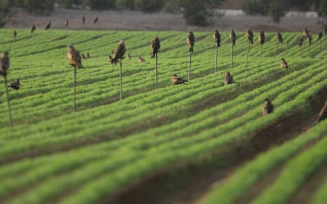 A drip irrigated field in southern Israel (Kobi Gideon/Flash90)