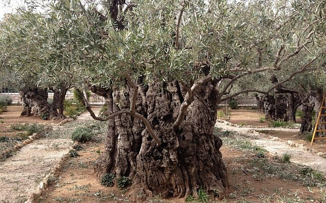The ancient hollows of Jesus' olive trees in the Garden of Gethsemane (photo credit: Jessica Steinberg/Times of Israel)