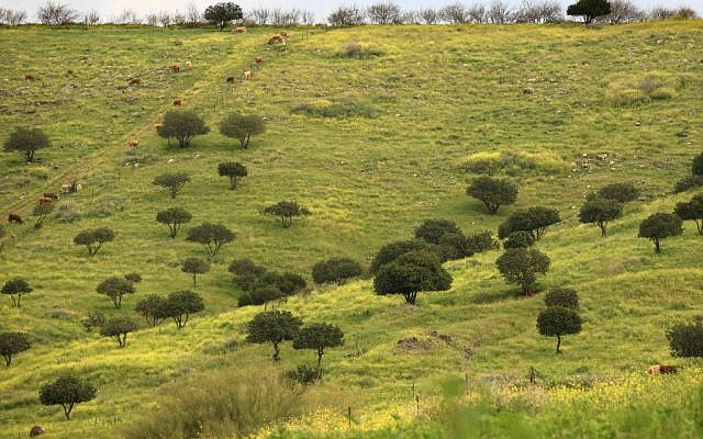 Carob trees surrounded by mustard plants in the Jezreel Valley (photo credit: Nati Shohat/Flash 90)