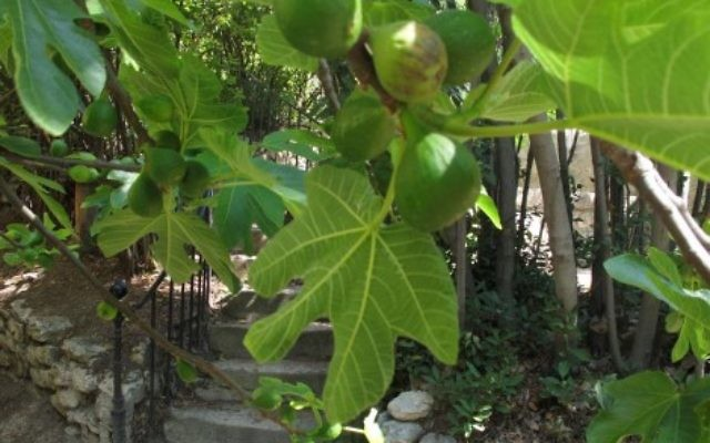 """Fig Tree at Les Lauves""  ©2013 by Heddy Abramowitz"