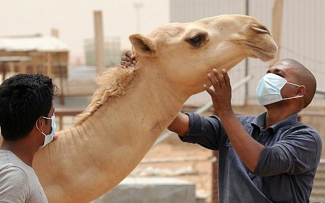 An Indian worker wears a mouth and nose mask as he touches a camel at his employer's farm, outside Riyadh, Saudi Arabia, on May 12, 2014. (photo credit: AFP/Fayez Nureldine)