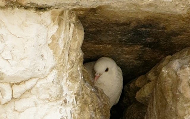 A dove nestles among stones at Jerusalem's Western Wall (Photo: Qanta Ahmed)