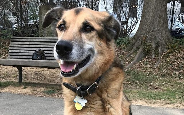 The author's dog, Zevy, who died of cancer. (Ron Kampeas)