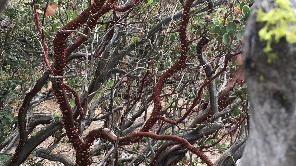 Manzanito Tree