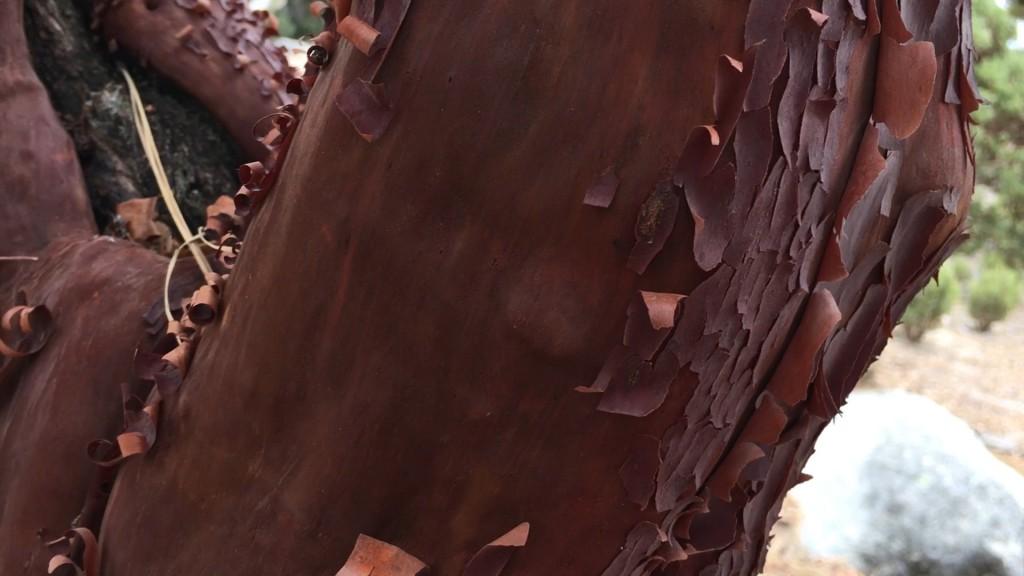 Manzanito Detail