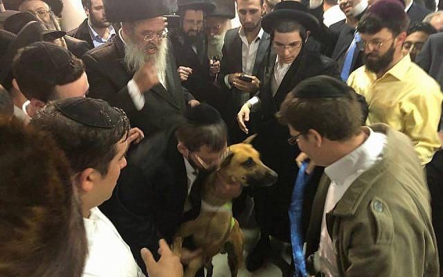 Haredim dance with Teddy at Rabbi Oring's son's wedding