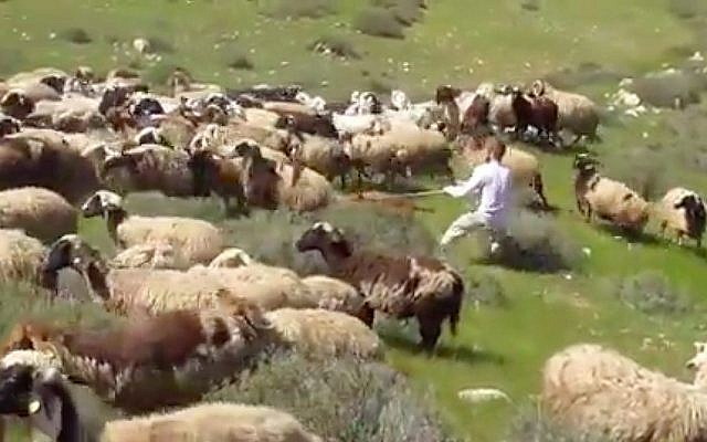 Illustrative: Ta'ayush activists film a settler siccing his pit bull on the sheep of a Palestinian shepherd, which he claimed had encroached on his land. (Screen capture/Ta'ayush)