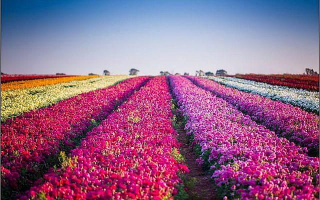 Be'er Tuvia flowers. (Courtesy, Deborah Dickson)