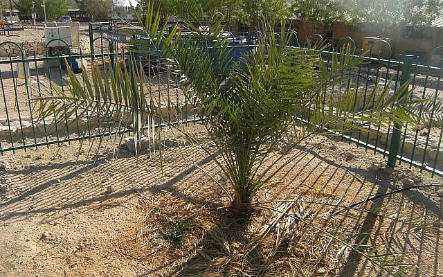 The Judean Date Palm at Ketura, Israel, nicknamed Methuselah. (via Wikipedia)