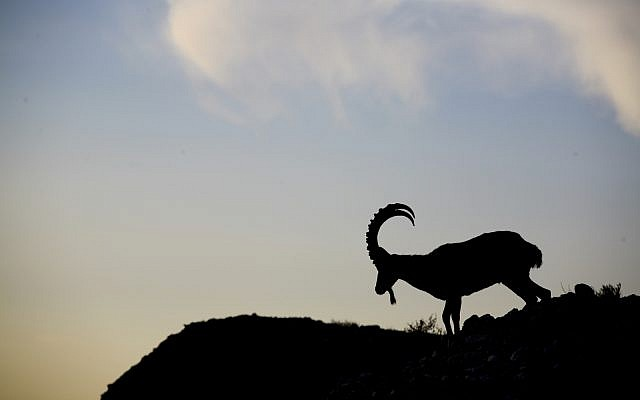 Silhouette of a Nubian Ibex (wild goat) at sunrise seen on the cliffs next to the Dead Sea (Matanya Tausig /Flash90)