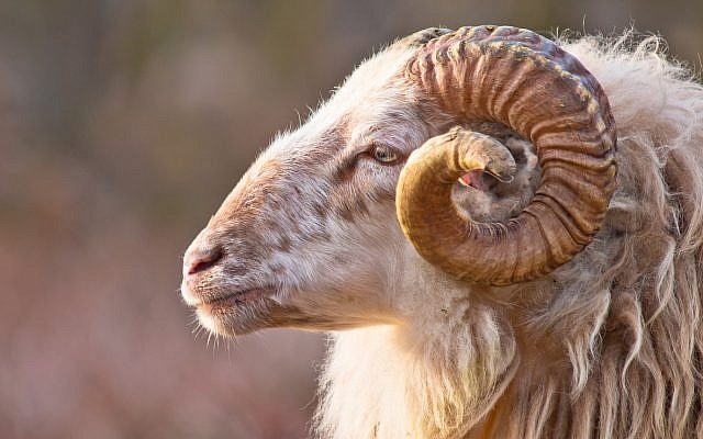 Illustrative. The horns of a male long-tailed sheepm akin to shofar. (iStock)