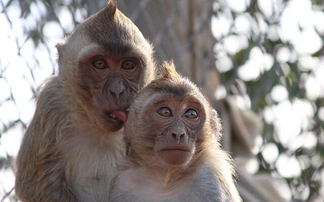 Illustrative. Monkeys, from the Monkey Park or Sanctuary (Miklat HaKofim HaYisraeli, https://www.ipsf.org.il/).