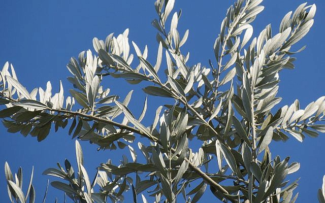 The olive branch as a sign of peace. Photo by Sari Kronish