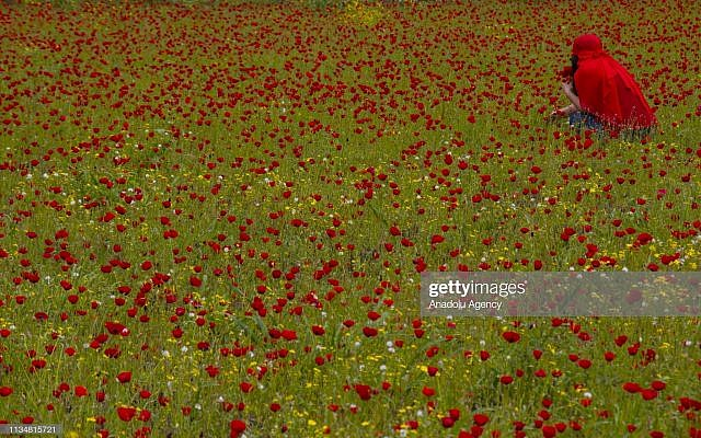 HATAY, TURKEY - APRIL 04: A woman in red clothing collects poppies at the foothills of Nur Mountains (Amanus) in Hatay, Turkey on April 04, 2019.  (Photo by Erdal Turkoglu/Anadolu Agency/Getty Images)