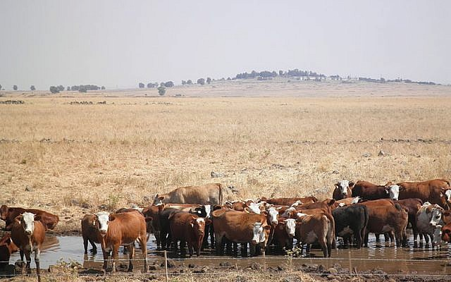 Beef cattle wading in a pond on the Golan Heights. Not environmentally benign... From PikiWiki, Israel (provided by Dan Barbarian).
