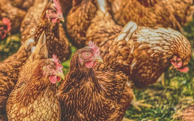 Chickens eating. (Public Domain/ Max Pixel)