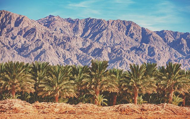 Date palm plantation on a background of mountains along the road from the Dead Sea to Eilat. (iStock)