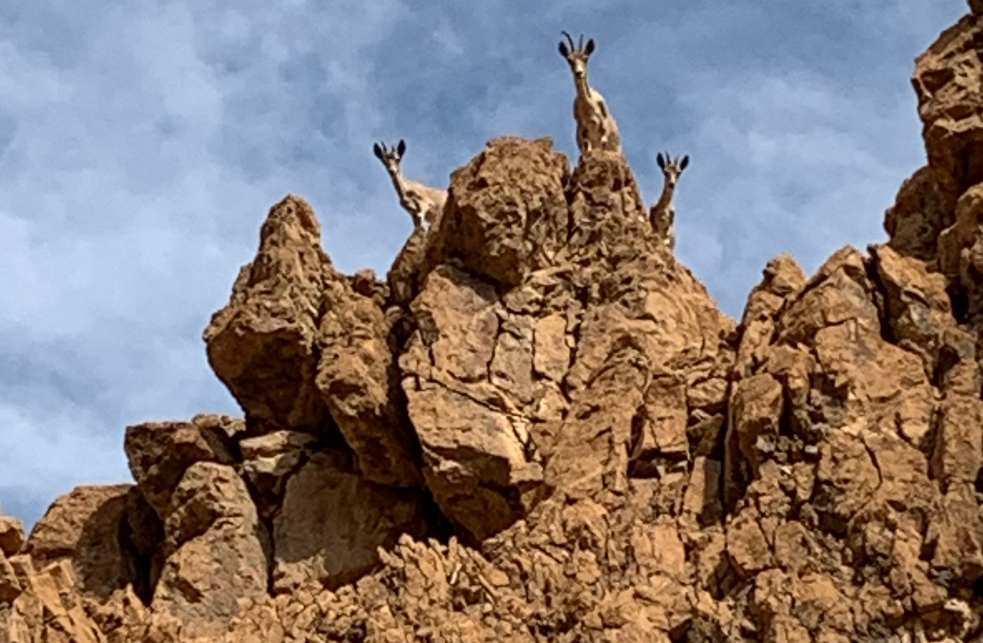 The remarkable return of the ibex
