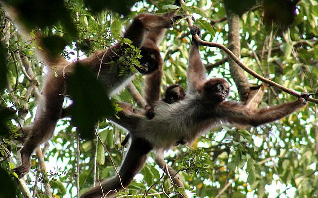 Spider monkeys. (Courtesy, This is My Earth)