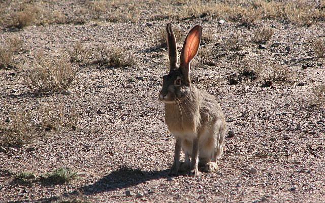 Illustrative. Hare. (Ancheta Wis, Wikipedia)