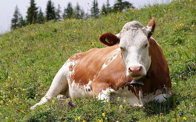 Cow sits in a field (Jewish News)