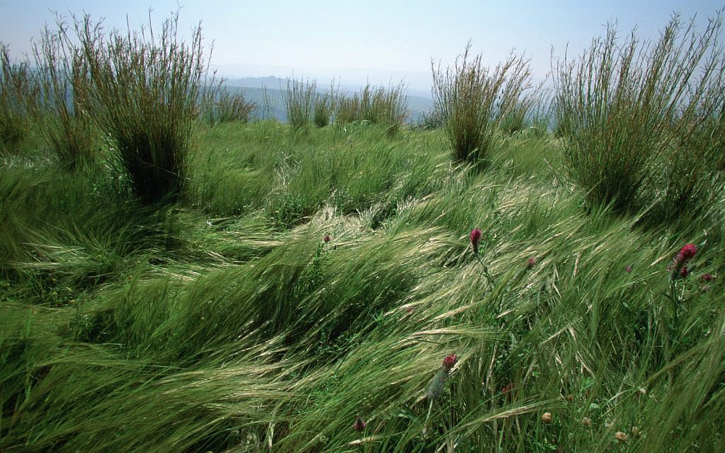 Grass and wildflowers in the Golan Heights. January 8, 2006. (Doron Horowitz/Flash90)