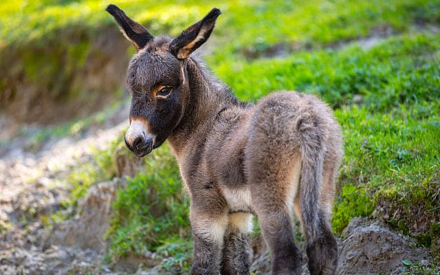 'Am I not the same donkey you ride every day? Have I been in the habit of doing thus (talking)?' (Num. 22:30) (iStock)