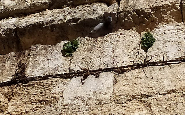 Pigeons in the cleft of the rocks at the Western Wall. Photo by Ruthi Soudack