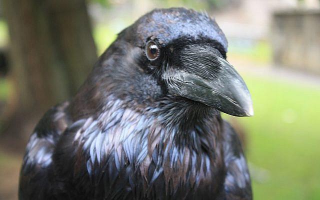 Raven. (CC BY-SA, Stephencdickson/ Wikimedia Commons)