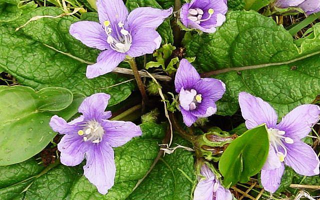 Mandrakes, or Mandragora autumnalis. (Wikipedia/Tito Grasso)