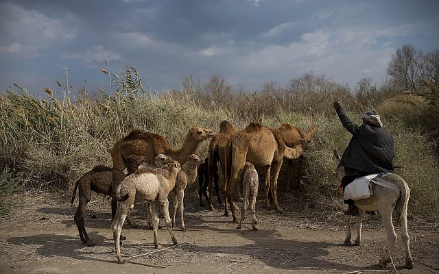 Illustrative. Bedouin camel herder Salem Rashaideh directs camels grazing near Kibbutz Kalya in the Dead Sea region of the West Bank, February 18, 2018. (AP Photo/ Oded Balilty)