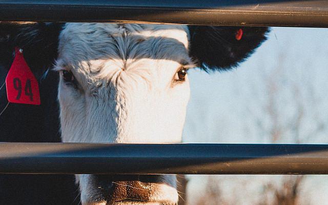 Cow (Photo by Garrett Butler on Unsplash via Jewish News)