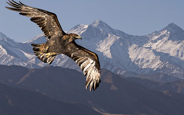 Golden eagle, flying, with Tien Shan mountains in the background near Bishkek, Kyrgyzstan. (iStock)