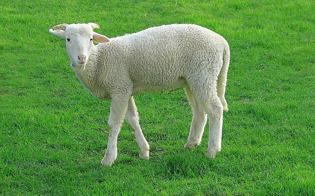 https://commons.wikimedia.org/wiki/File:Lamb_09807-a.jpg