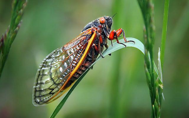 A cicada sitting on a blade of grass in western North Carolina. (WerksMedia / iStock)