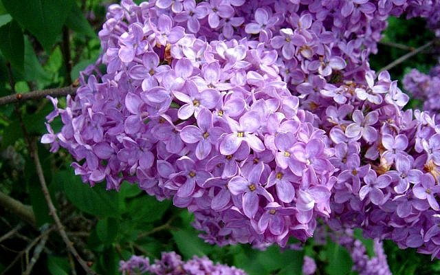 Purple Lilacs in Spring. (Wikimedia Commons)