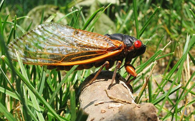 A Brood X cicada in New Jersey, during their last emergence in 2004. (Wikipedia)