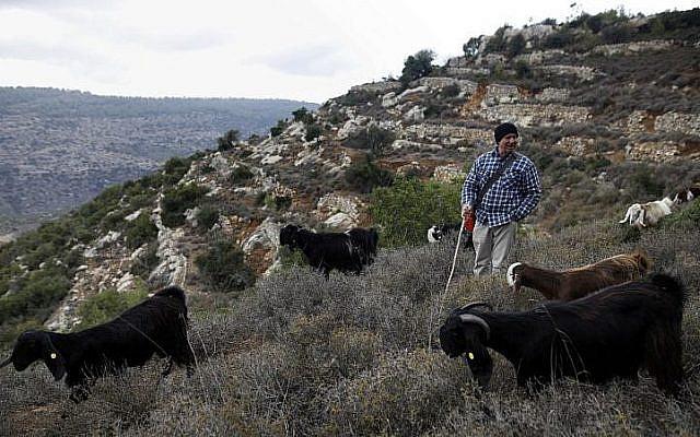 Israeli shepherd Avshalom Yaaran walks his black goats, also called Syrian goats, as they graze at the Jerusalem Mountain near Moshav Nes Harim on November 22, 2017. (AFP PHOTO / MENAHEM KAHANA)