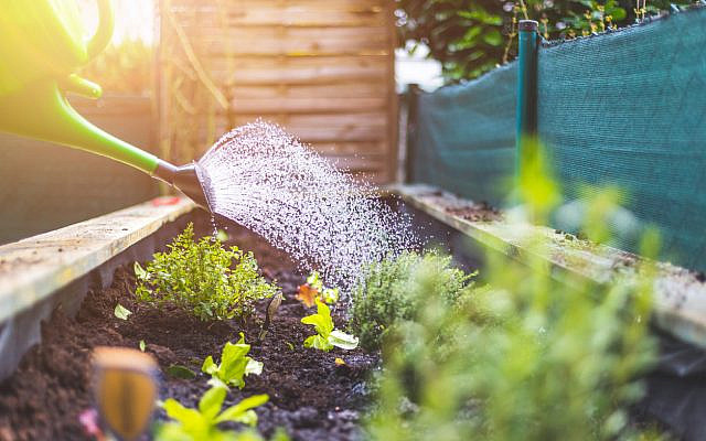 Watering vegetables and herbs in raised bed. Fresh plants and soil. (Patrick Daxenbichler, iStock)