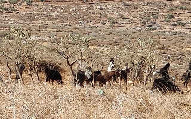 Settler from Ma'aleh Ahuvia and his flock in Dir Jarir olive grove.