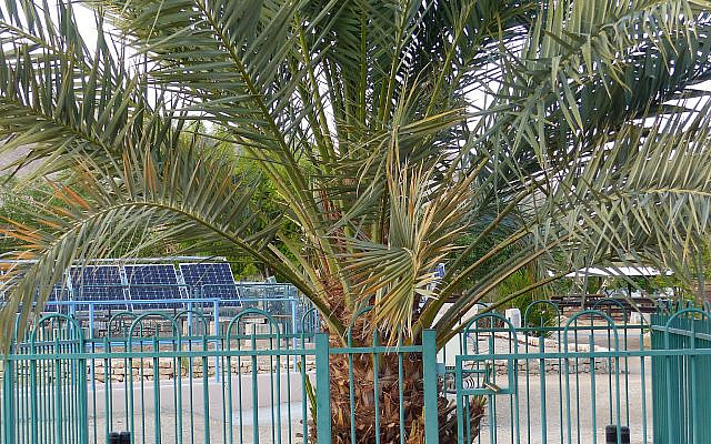 The Palm Tree Named Methuselah Grown From an Ancient Date Seed - Sura Jeselsohn