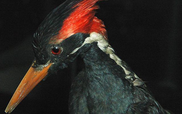 Campephilus Principalis – Ivory-Billed Woodpecker (CC, via Wikimedia, photo by James St. John)