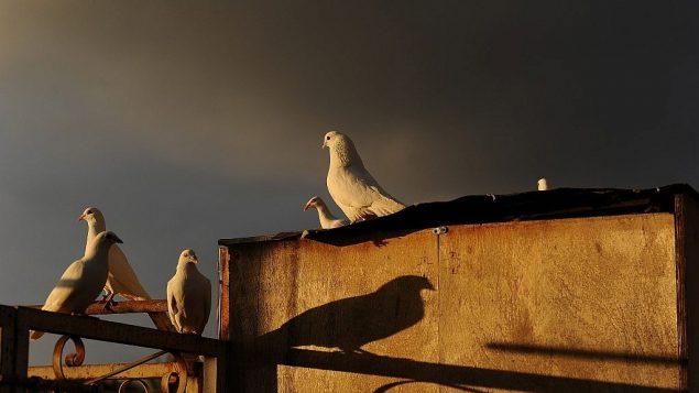 تصویر: هنگام غروب کبوتران سفید بر سققی در شهر قدیم اورشلیم نشسته اند، ۲۴ دسامبر ۲۰۱۸.  (Mendy Hechtman/Flash90)