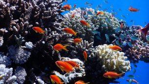 تصویر: مرکز پژوهشی فراملی دریای سرخ به مطالعه هزاران گونه ماهی و مرجان دریای سرخ، مانند اینها که عکسشان را پروفسور معوذ فاین در ۲۰۱۹ در نزدیکی ایلات گرفته است، اقدام کند. (courtesy Maoz Fine)
