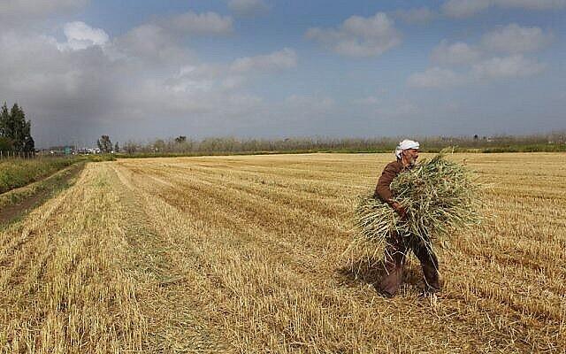عکس تزئینی: یک عرب اسرائیلی حین جمع آوری گندم در مزرعه، بلافاصله پس از خرمن-چینی در شهرک «برگاته»، ۸ آوریل ۲۰۱۳. (Chen Leopold/Flash90/File)