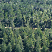Des oins et des cyprès dans la forêt de Jérusalem (Crédit : Nati Shohat/Flash 90)