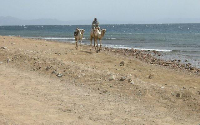 Un homme montant un chameau dans le Sinai. (Crédit : CC-BY-SA  Mattk1979, Flickr)